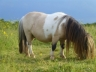 Fairy en pature - Etalon mini shetland